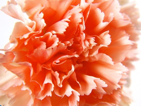 Carnation_flower_photo_tion